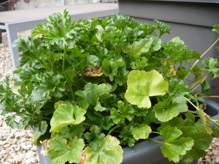 en tot slot nog een wit bloeiende plant, waarvan ik de naam nu kwijt ben (en ook het naamkaartje). Vreemd is dat er 2 volstrekt verschillende bladen aan deze plantjes zit. Wachten wat dit geeft... ;-)