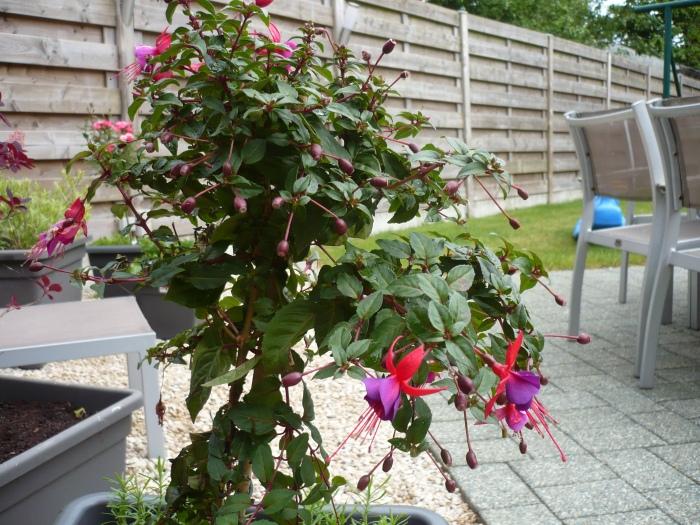 Bellenplant (Fuchsia). Een kleurrijke variëteit van deze plant.
