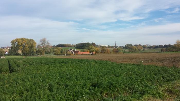 over het veld wortelen heen staat de kerk van Wortegem in de hoogte