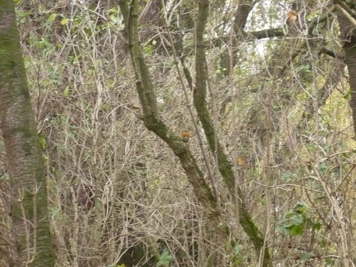 onderweg spotten we een roodborstje (centraal in beeld)